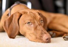 Perro relajante en una alfombra blanca imagen de archivo