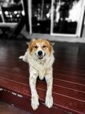 Perro Relaxed Fotos de archivo