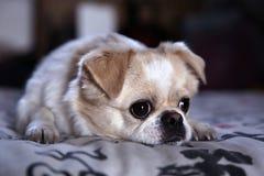 Perro reservado Foto de archivo
