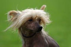 Perro-retrato con cresta chino Imagenes de archivo