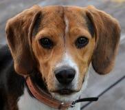 Perro, retrato del beagle, joven y hermoso imagen de archivo