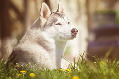 Perro Retrato del perro esquimal siberiano Perro en el césped de dientes de león Foto de archivo libre de regalías