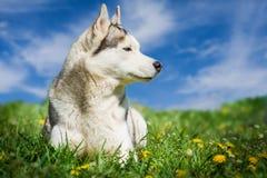 Perro Retrato del perro esquimal siberiano Perro en el césped de dientes de león Fotografía de archivo libre de regalías