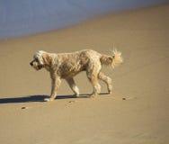 Perro revestido rizado del marrón del moreno que despierta en la playa arenosa Fotografía de archivo libre de regalías