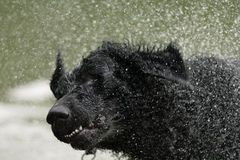 Perro revestido rizado del perro perdiguero Imagen de archivo libre de regalías