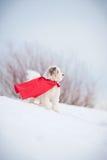 Perro estupendo rizado divertido Fotografía de archivo