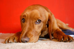 Perro rojo Imágenes de archivo libres de regalías