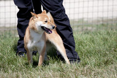 Perro rojo Foto de archivo