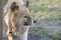Perro rojo Imagenes de archivo