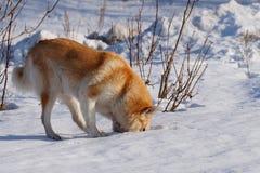 Perro rojo fotografía de archivo