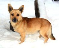 Perro rojo Imagen de archivo