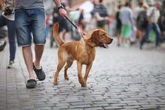 Perro rojo Fotos de archivo libres de regalías