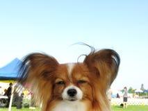 Perro rojo de Papillon del Sable en una demostración de perro Fotografía de archivo libre de regalías
