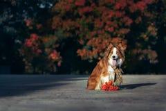 Perro rojo del border collie con el ramo de flores imagenes de archivo