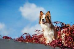 Perro rojo del border collie contra el cielo Fotos de archivo libres de regalías