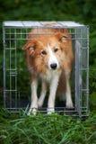 Perro rojo del border collie que se coloca en jaula Imágenes de archivo libres de regalías