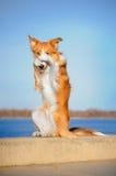 Perro rojo del collie de frontera en truco Imágenes de archivo libres de regalías