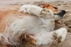 Perro rojo del collie que miente en la arena en una playa imagen de archivo