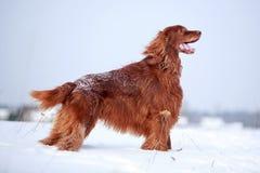 Perro rojo del setter irlandés Fotos de archivo libres de regalías