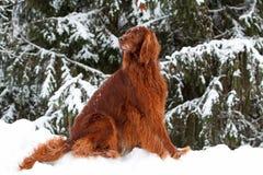 Perro rojo del setter irlandés en bosque Foto de archivo