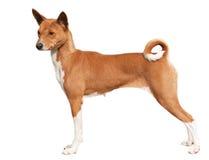Perro rojo elegante Foto de archivo libre de regalías