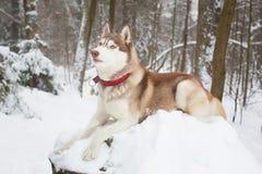 Perro rojo en la nieve Invierno Perro esquimal del bosque Fotografía de archivo