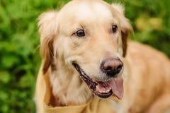 perro rojo Labrador Fotografía de archivo