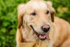 perro rojo Labrador Imagenes de archivo