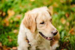 perro rojo Labrador Foto de archivo