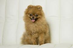 Perro rojo lindo del perro de Pomerania Imagenes de archivo