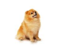 Perro rojo mullido de Pomeranian Imágenes de archivo libres de regalías