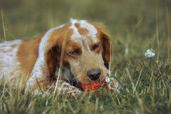 Perro rojo que juega con una bola Fotografía de archivo