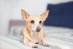 Perro rojo que miente en el sofá Restos del animal dom?stico Chihuahua Horizontal dentro tir? de interior ligero con el peque?o s foto de archivo libre de regalías