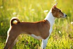 Perro rojo que se coloca y que mira en alguna parte Fotos de archivo libres de regalías