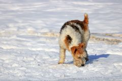 Perro rojo que se sienta en la nieve en el campo imagen de archivo