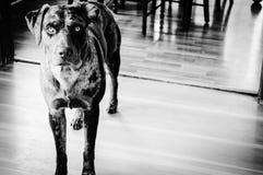 Perro rojo real Imágenes de archivo libres de regalías