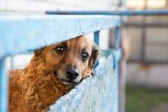 Perro rojo triste que espera al dueño Fotografía de archivo libre de regalías
