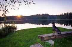 Perro romántico del pincher Imagen de archivo