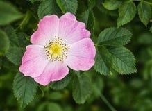 Perro-rosa Imagenes de archivo