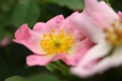 Perro-rosa Fotografía de archivo libre de regalías