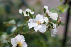Perro-rosa blanca Imagenes de archivo