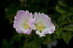 Perro Rose hermoso Fotografía de archivo libre de regalías