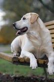 Perro rubio del perro perdiguero de Labrador Imagen de archivo libre de regalías