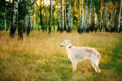 Perro ruso blanco, galgo ruso, perro de caza en verano Fotos de archivo libres de regalías