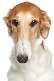 Perro ruso del Borzoi. Retrato principal del primer del perfil imagenes de archivo