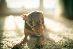 Perro ruso del terrier de juguete Fotos de archivo libres de regalías
