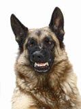 Perro salvaje Imagen de archivo libre de regalías