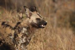 Perro salvaje Fotos de archivo libres de regalías