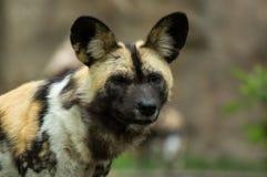 Perro salvaje Fotografía de archivo libre de regalías