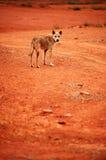 Perro salvaje Foto de archivo libre de regalías